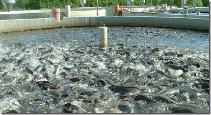 Так выглядит неустойчивая аквакультура. Полностью зависимая от человека, подачи питания и энергии для подогрева и аэрированния.