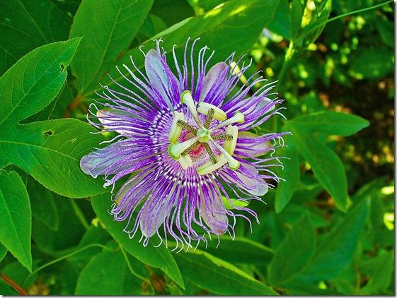 800px-Passiflora_incarnata_002