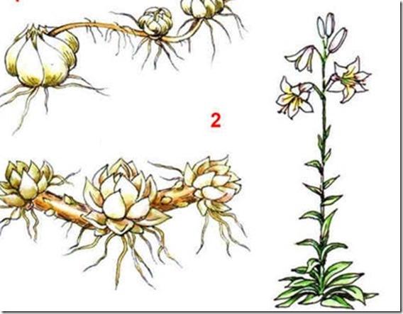 Лилиля и луковицы лилии
